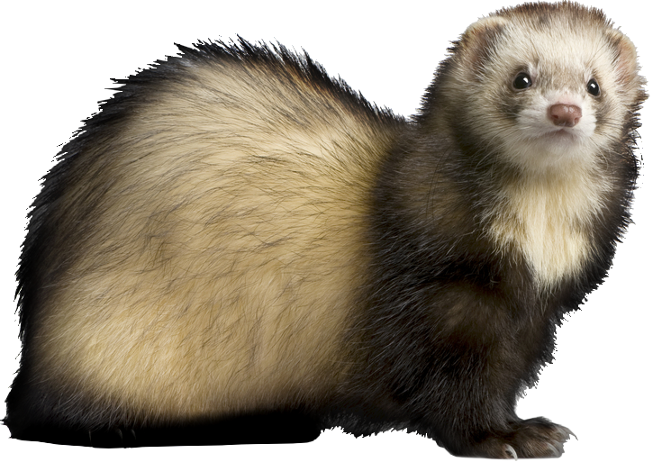 Ferret HD PNG