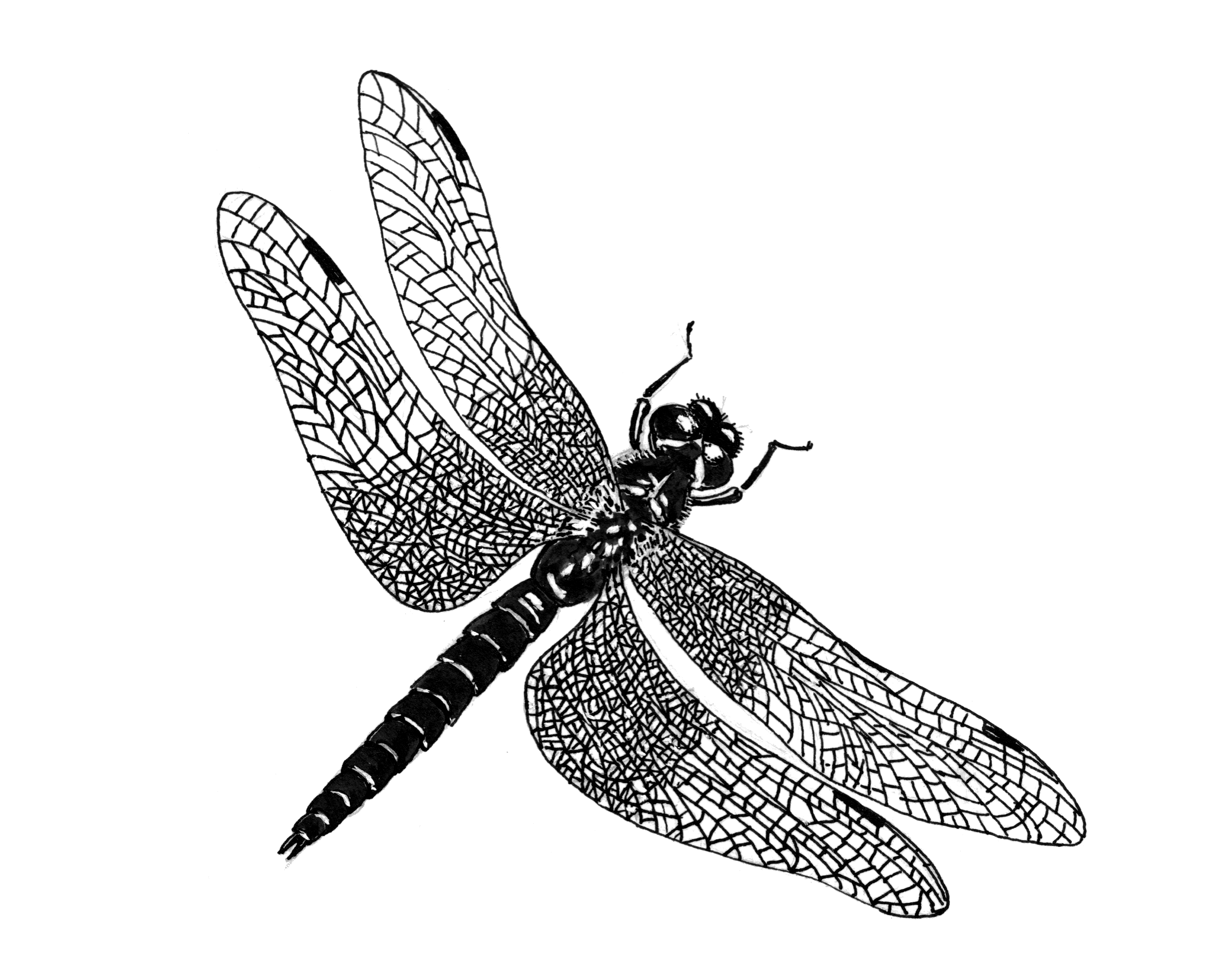 Dragonfly PNG - 1745