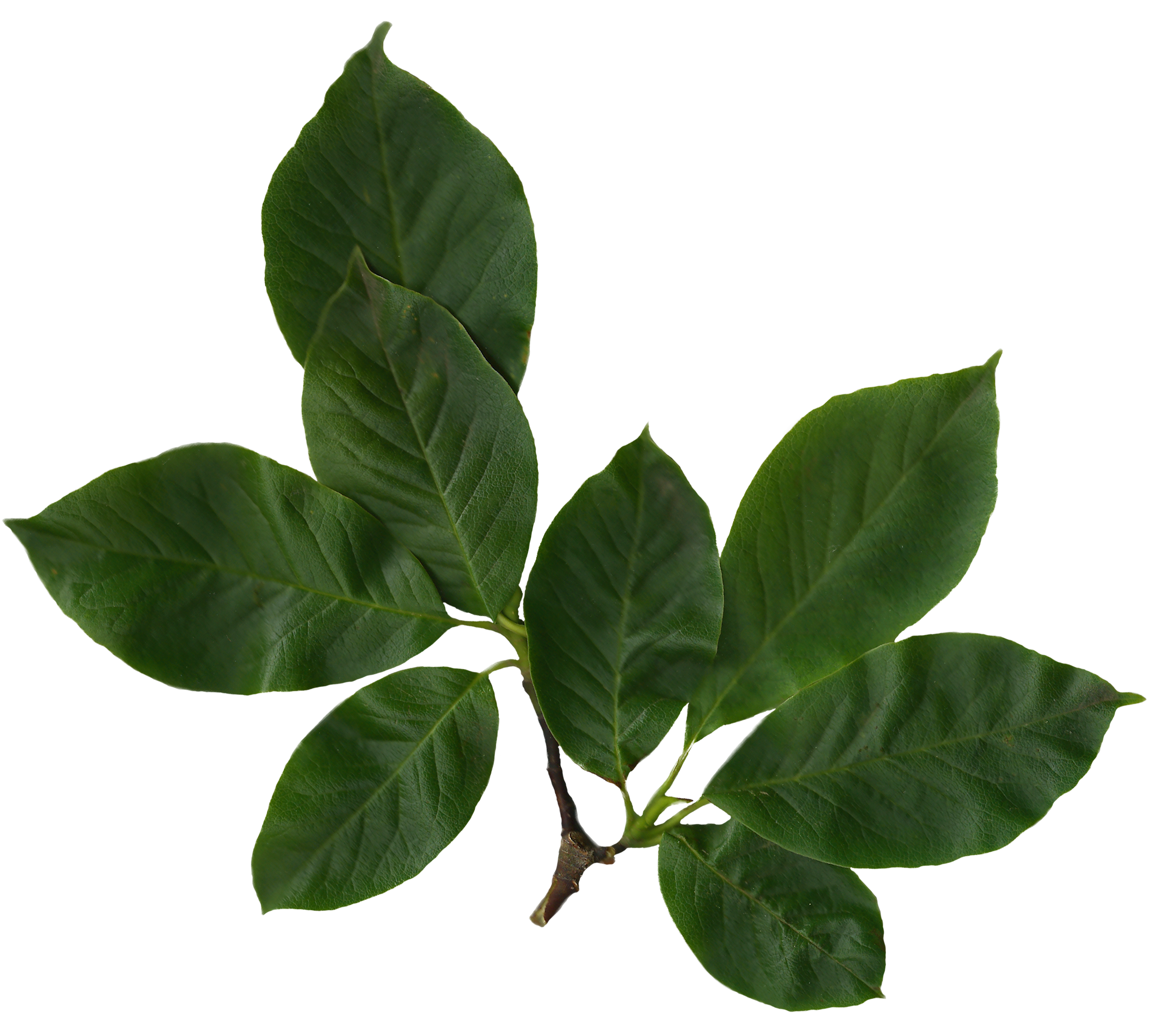 File:Magnolia Soulangiana Scanned Leaves.png - Leaves PNG