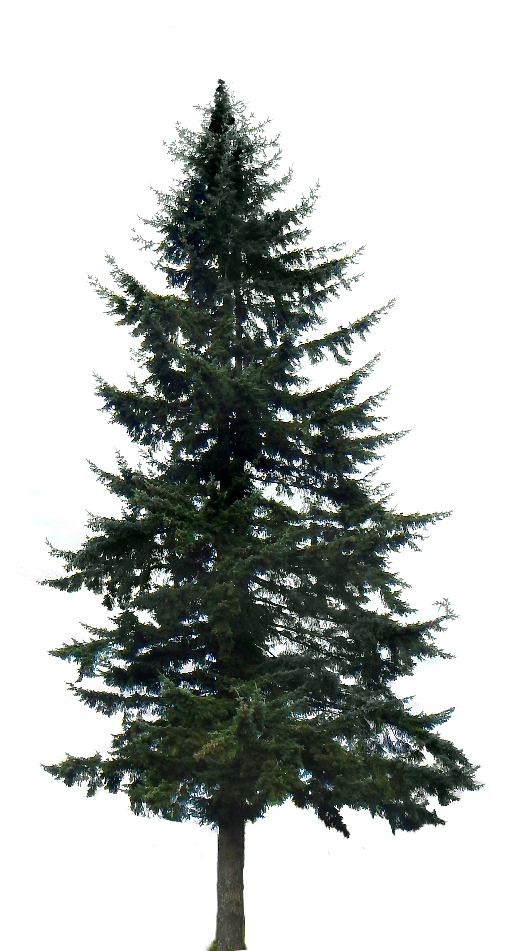Download - Fir Tree PNG Black And White