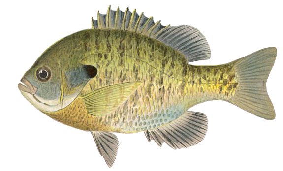 Blue Gill sun fish - /animals/aquatic/fish/B/bluegill/Blue_Gill__sun_fish. png.html - Fish Gills PNG