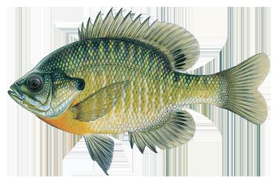 Bluegill - Fish Gills PNG
