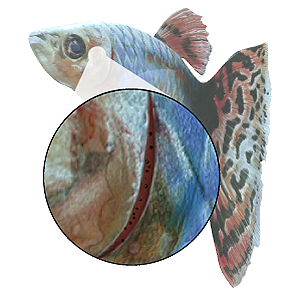 Gasping PlusPng.com  - Fish Gills PNG