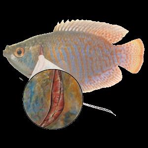 Gill Inflammation - Fish Gills PNG