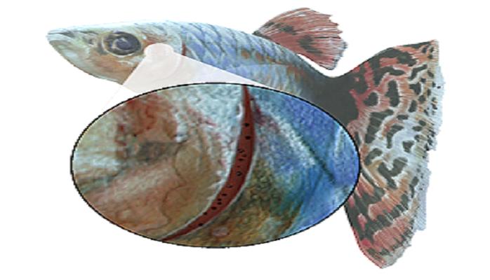 GILL MITES - Fish Gills PNG