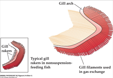 image untitled-141D8BB3A8E2348A238-thumb for term side of card - Fish Gills PNG