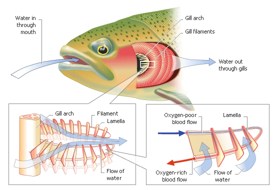 Some characteristics are unique. Check out this diagram. What organs are  unique to fish? What organs and processes do fist share with other animals? - Fish Gills PNG