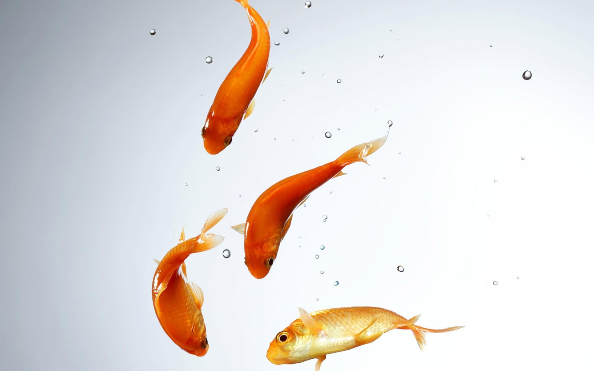 Fish Wallpaper HD - Swimming HD PNG - Fish HD PNG