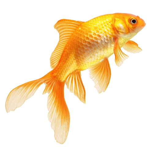 golden fish Images - Fish HD PNG