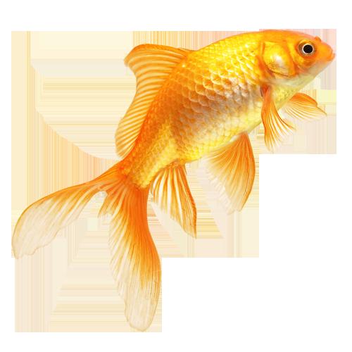 Golden Fish Images - Fish HD PNG
