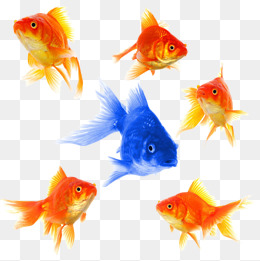 HD Fish Goldfish, Goldfish, Shoal Of Fish, Blue Goldfish PNG Image - Fish HD PNG