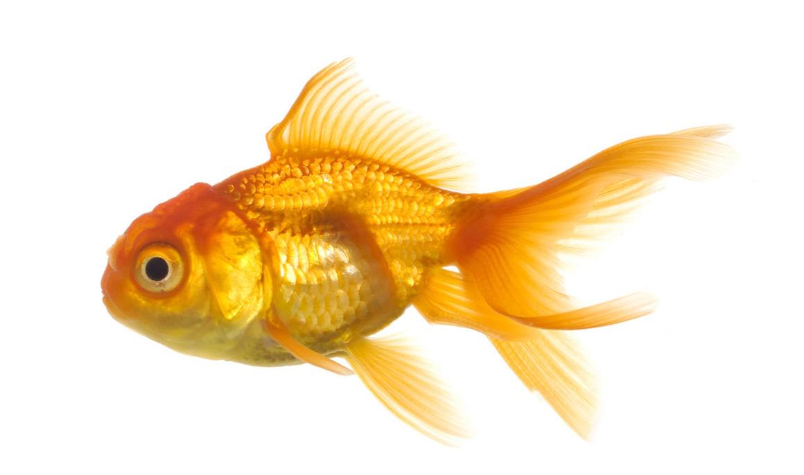 Real Fish Transparent Backgro