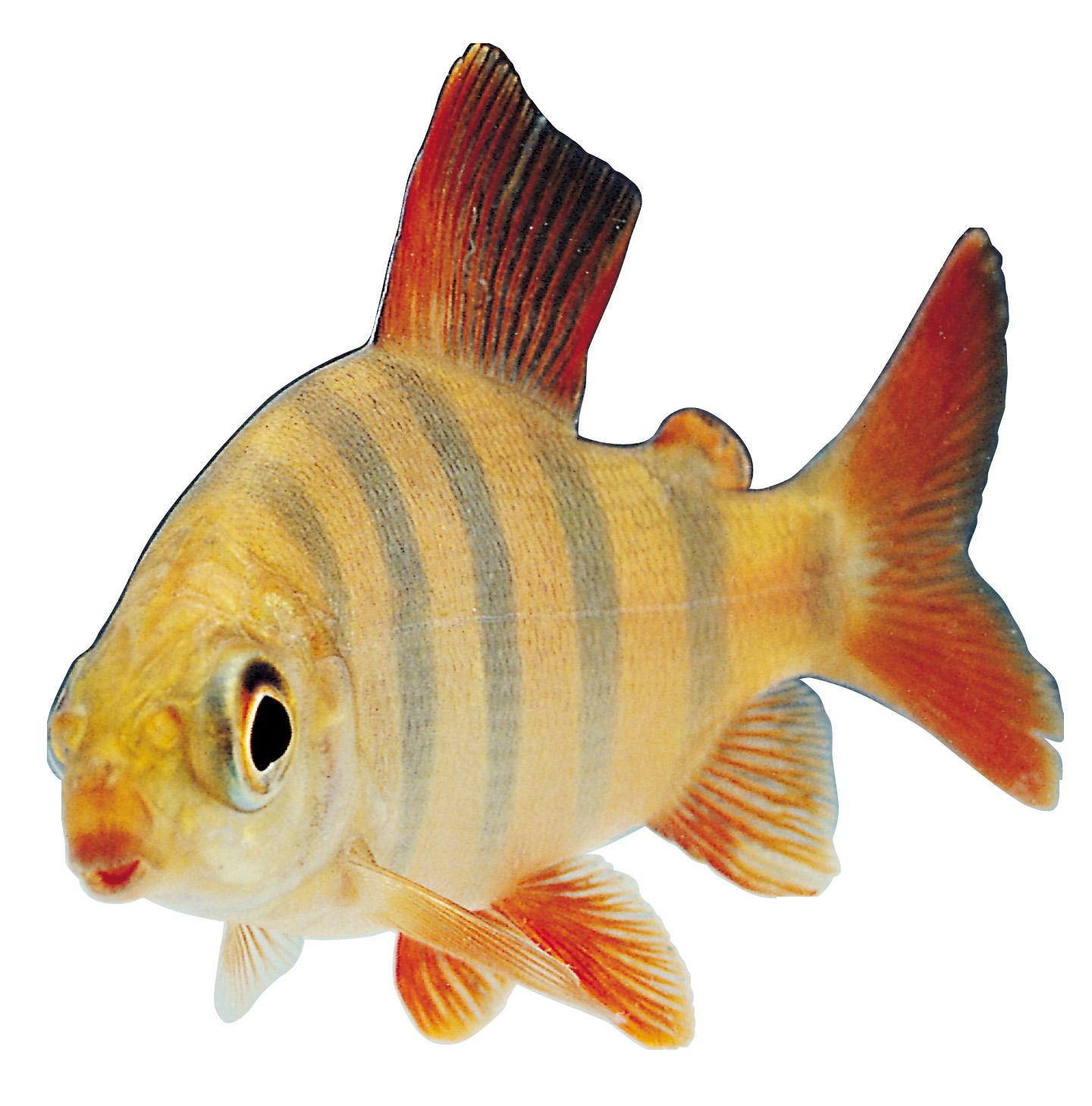 Fish PNG - 5049