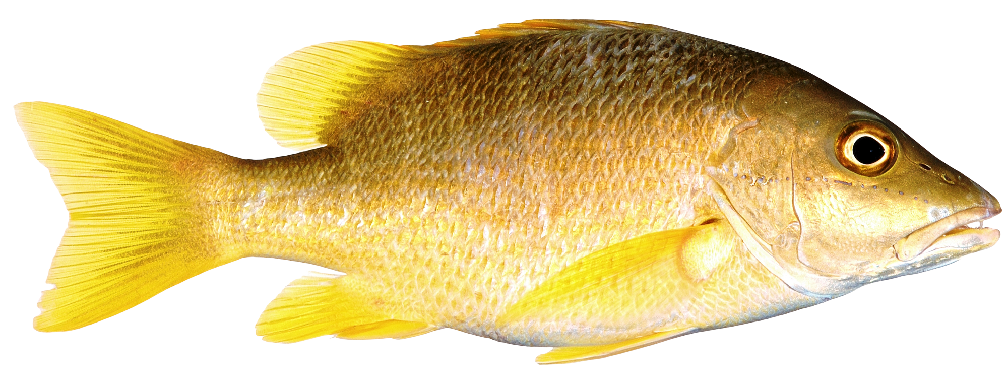 Fish PNG Transparent Image - Fish PNG