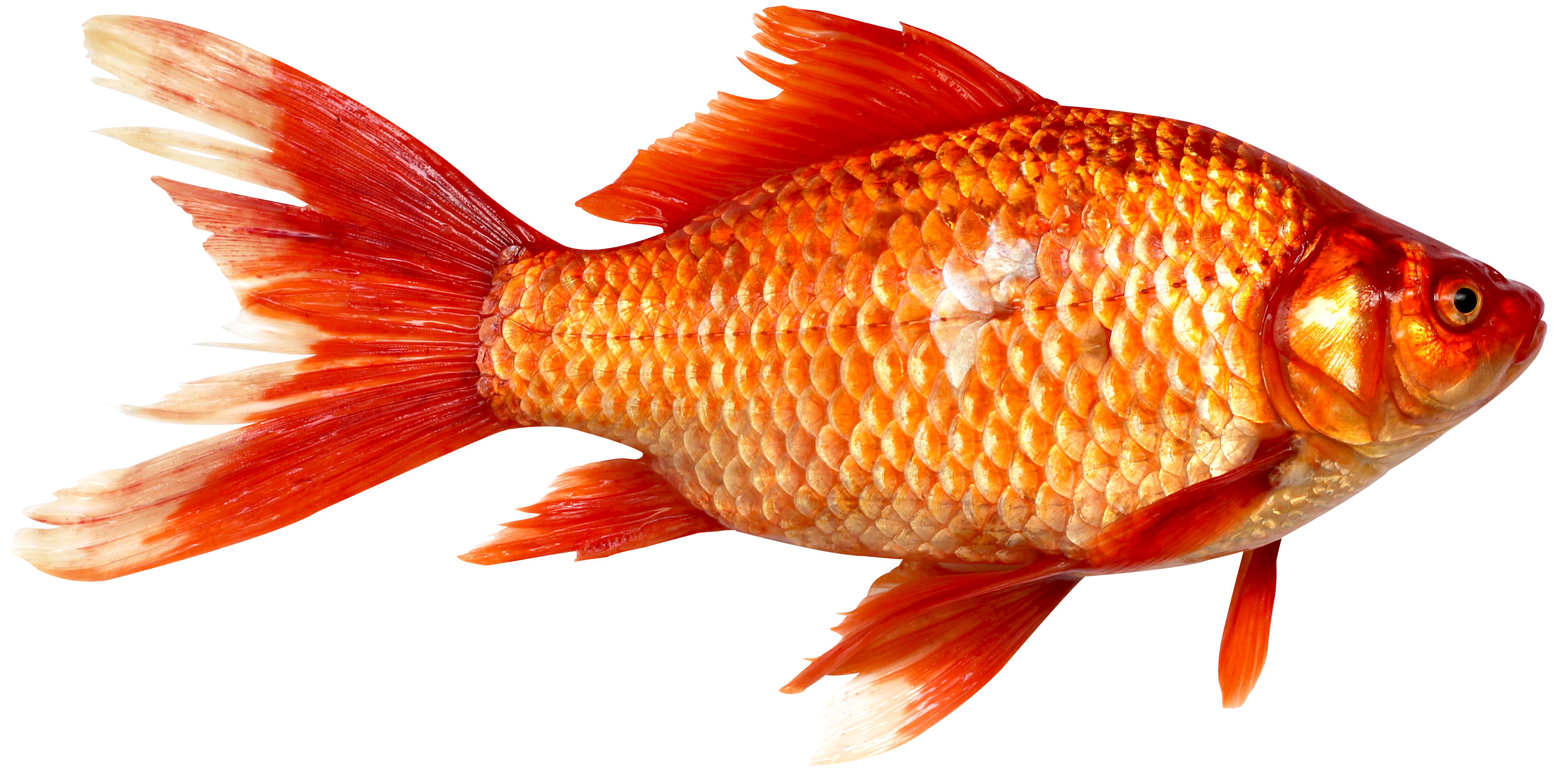 Orange Fish PNG Image image #41459 - Fish PNG