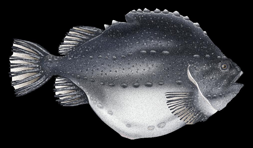 Lumpfish - Fishing HD PNG