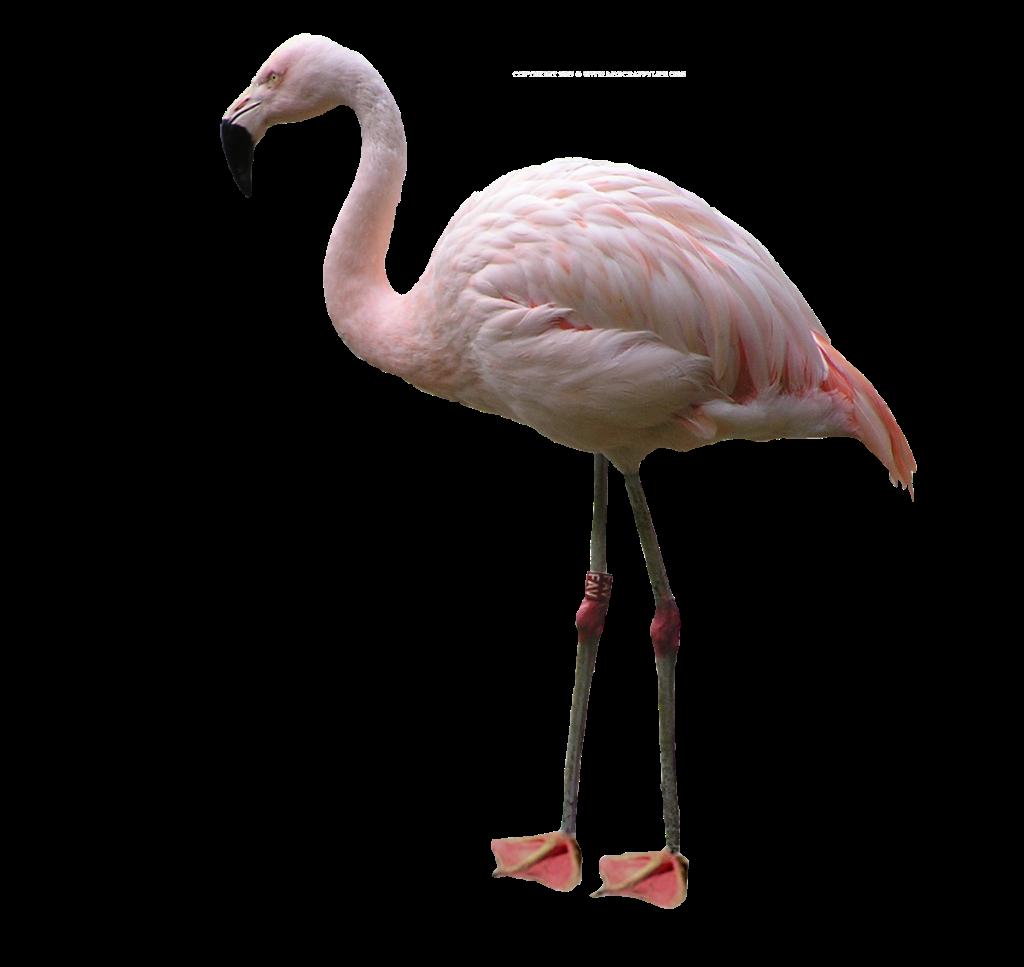 Flamingo HD PNG - 90731