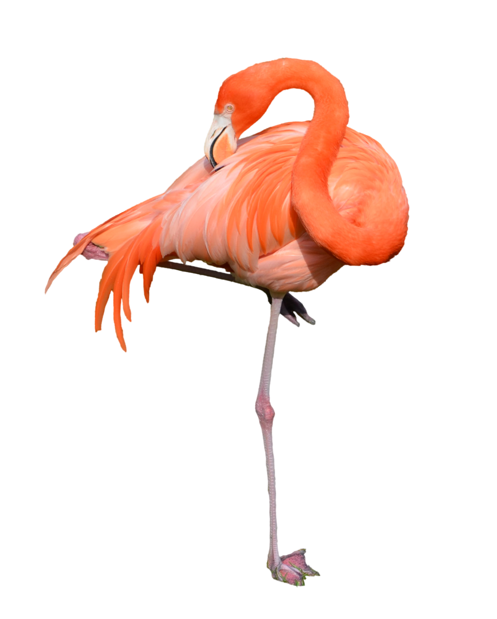 Flamingo HD PNG