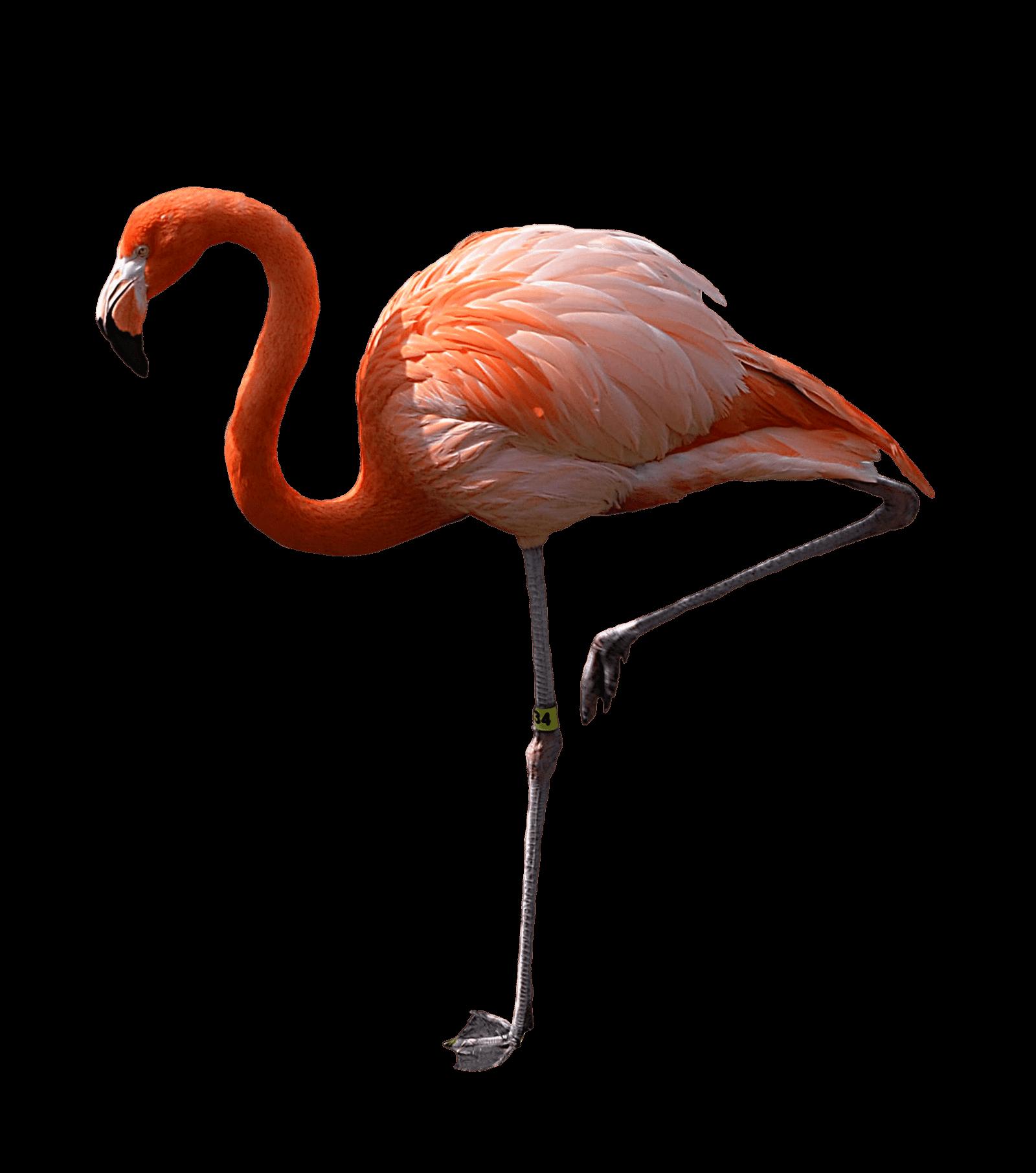 Flamingo HD PNG - 90734