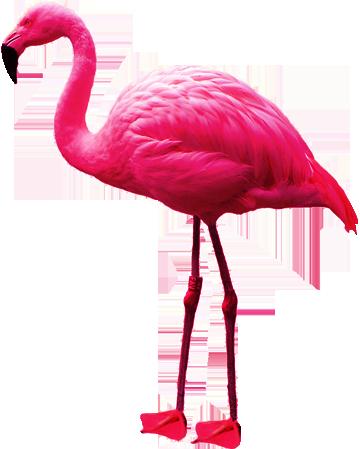Flamingo PNG - Flamingo PNG