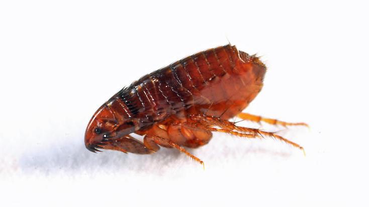 are fleas black - Flea PNG Black And White