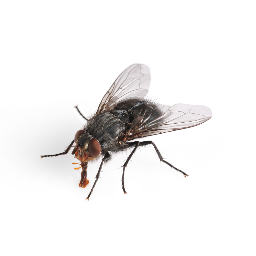 Flies PNG - 22665