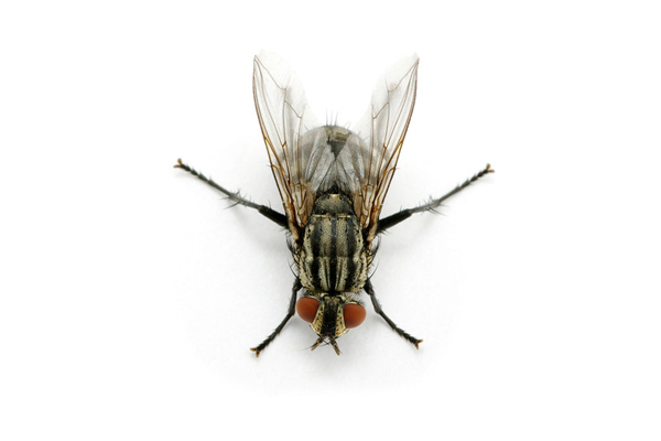 Flies PNG - 22667