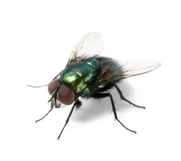 Flies PNG - 22669