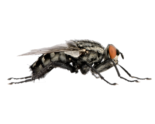 Flies PNG - 22671