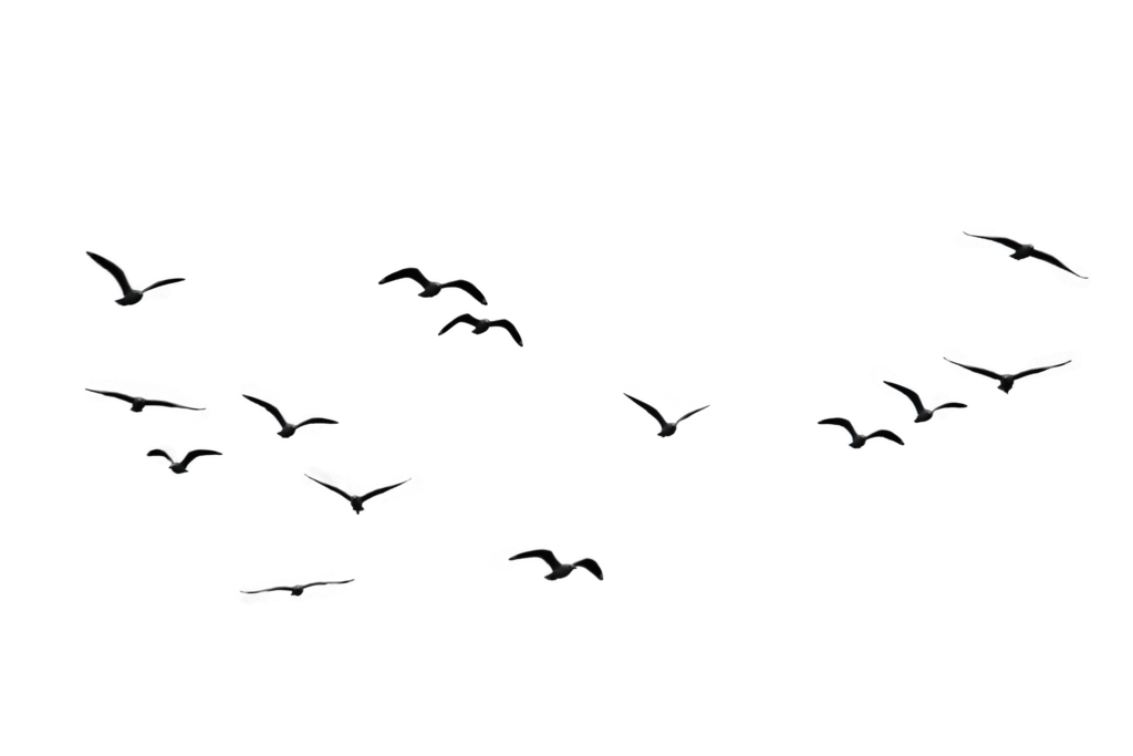 Flock of Birds PNG