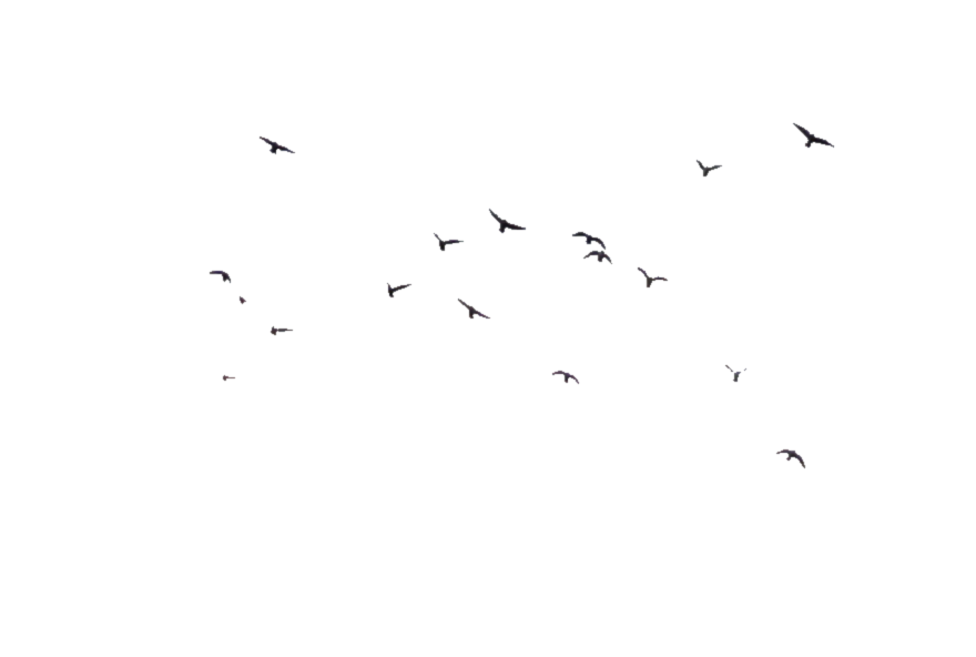 png 800x375 Flock of birds on