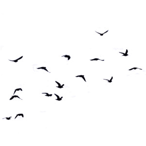 flock-of-birds-flying - Flock of Birds PNG