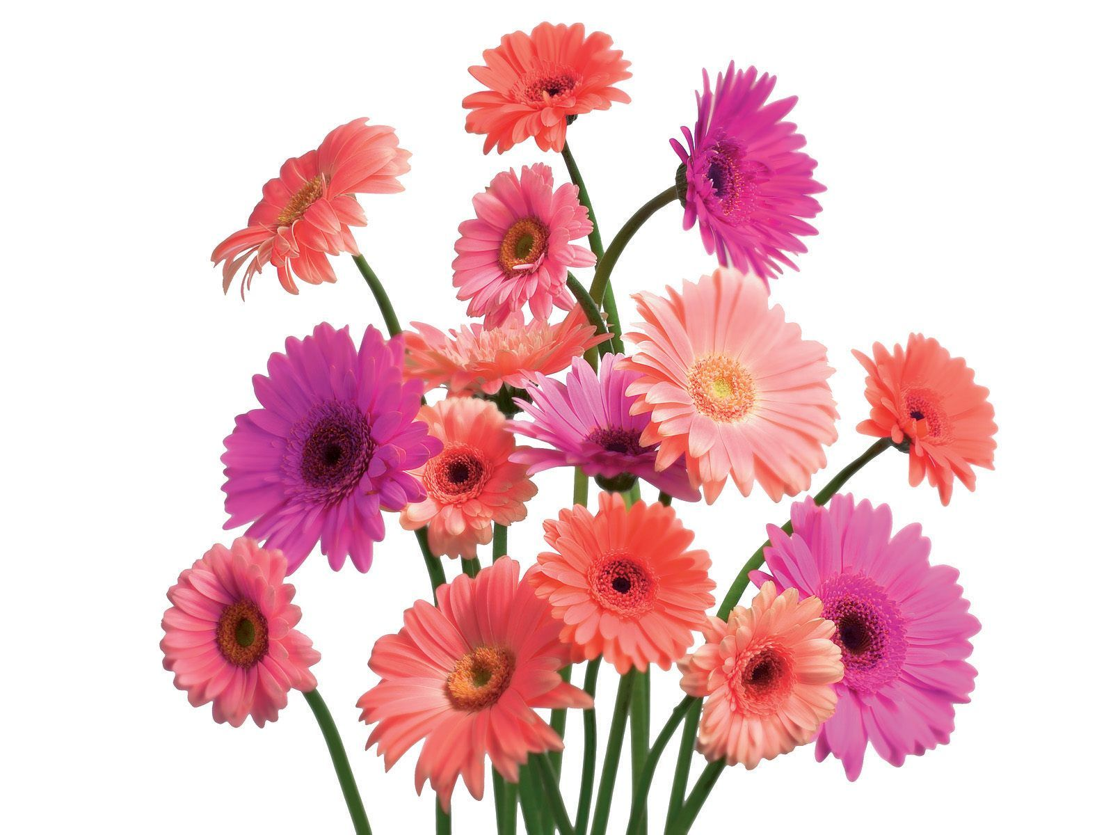 Flowers Flower Beautiful Nature Pink Daisy Specila Wallpaper - Flower HD PNG