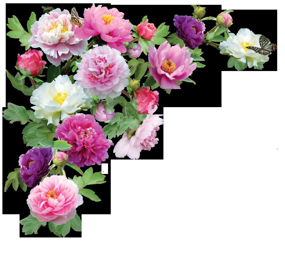PeoniesPNG. Flower ImagesHd WallpaperPngCalendar PlusPng.com  - Flower HD PNG