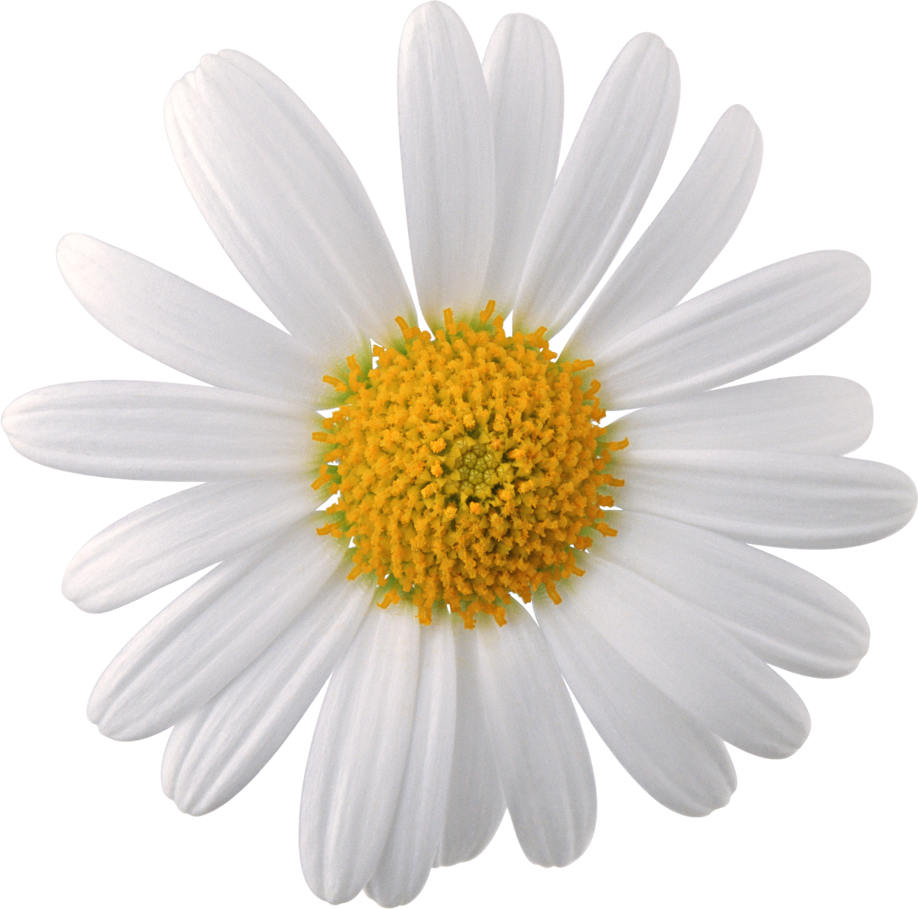 Camomile · Clover PNG Image - Flower PNG