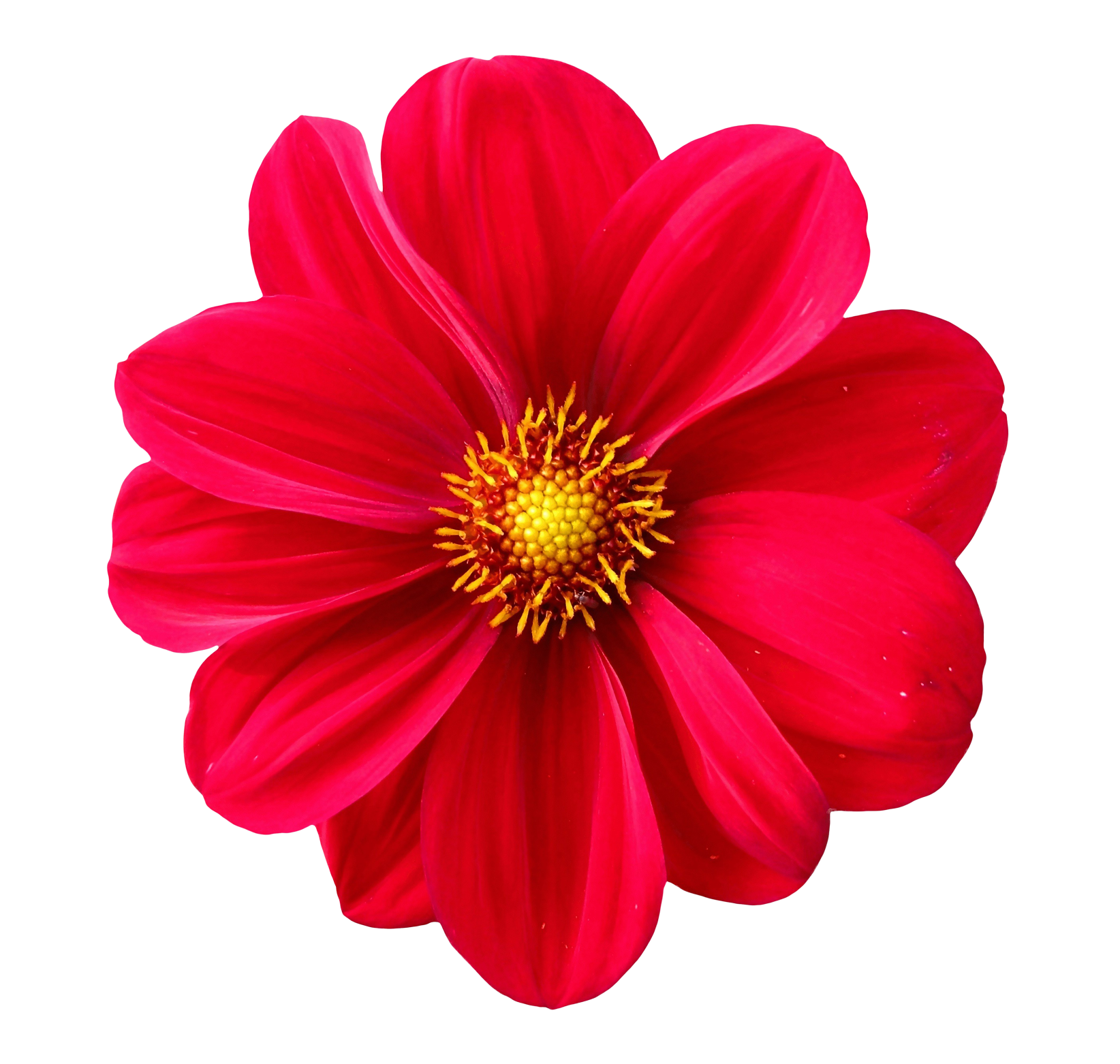 Dahlia Flower PNG Transparent Image - Flower PNG