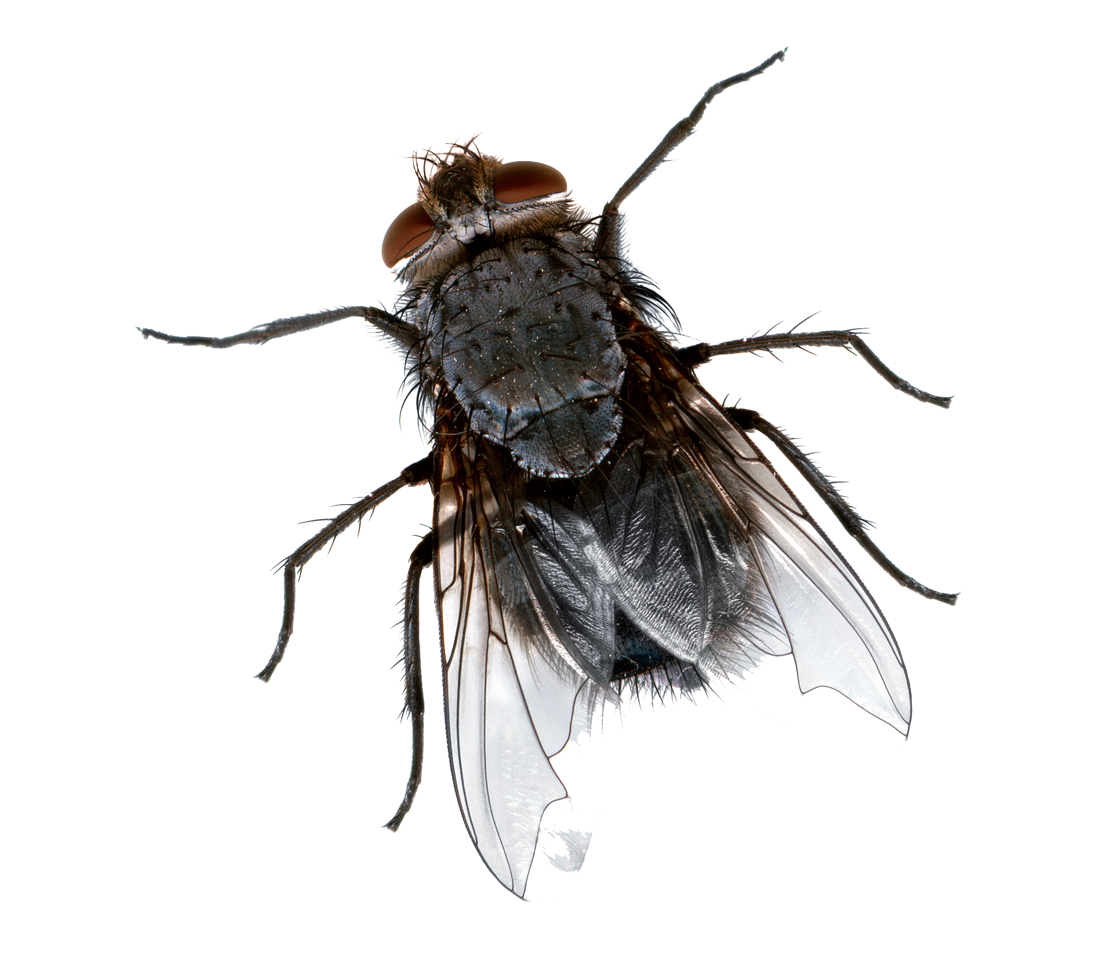 Flies Transparent Background - Fly HD PNG