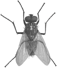 . PlusPng.com animals/ insects/ fly.png - Fly PNG