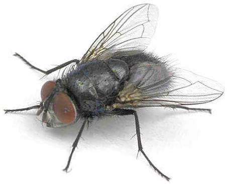 Blow Fly (Calliphoridae).PNG - Fly PNG