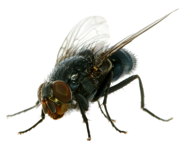 Flies PNG Clipart - Fly PNG