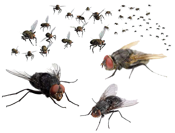 Flies PNG Transparent Image - Fly PNG