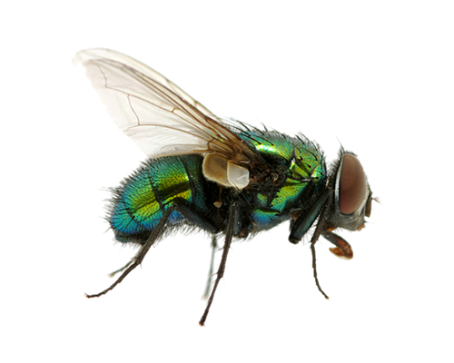 green fly PNG image