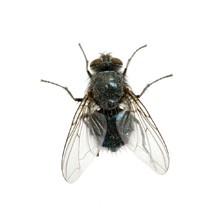 Pest Control Of Flies - Fly PNG