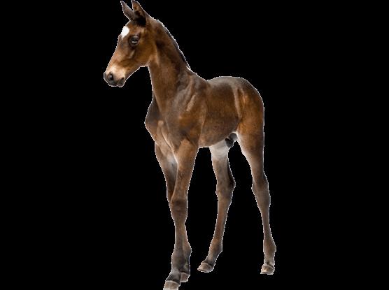 Foal PNG HD-PlusPNG.com-556 - Foal PNG HD
