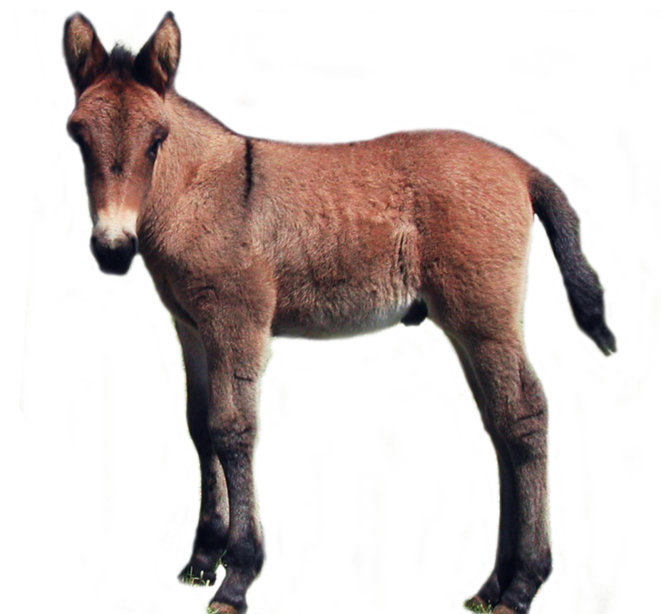 Foal PNG stock by lubman PlusPng.com  - Foal PNG HD