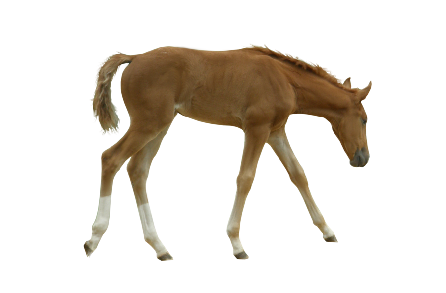 foal precut by Five-Colours PlusPng.com  - Foal PNG HD