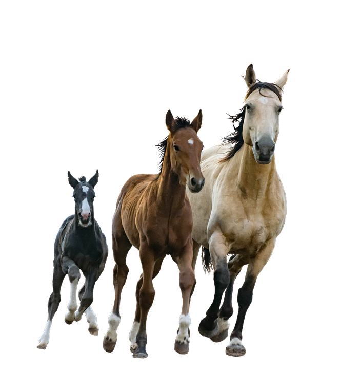 Horses, Mare, Foals, Isolated, Cutout, Colt, Running - Foal PNG HD