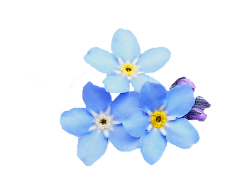 forget-me-not-png-hd-contact-the-forget-