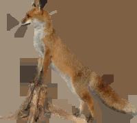 Fox PNG - 18760