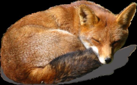 Fox PNG - 18761